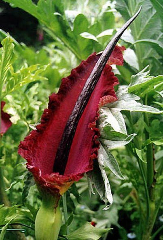Член цветок