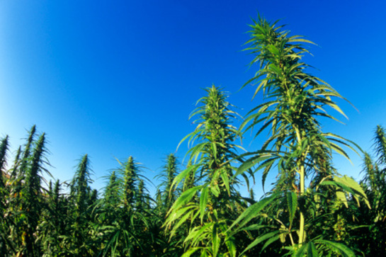 a description of hemp as the miracle plant