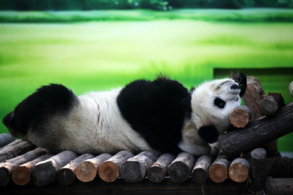 Мишка панда картинки