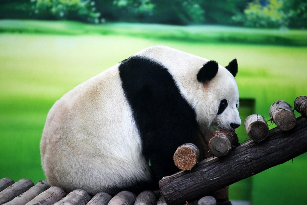 Прикольные картинки панды