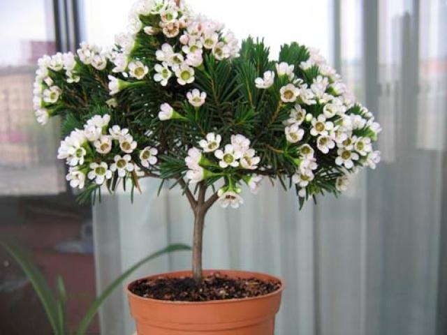 Цветок азалия фото и уход в домашних условиях 92