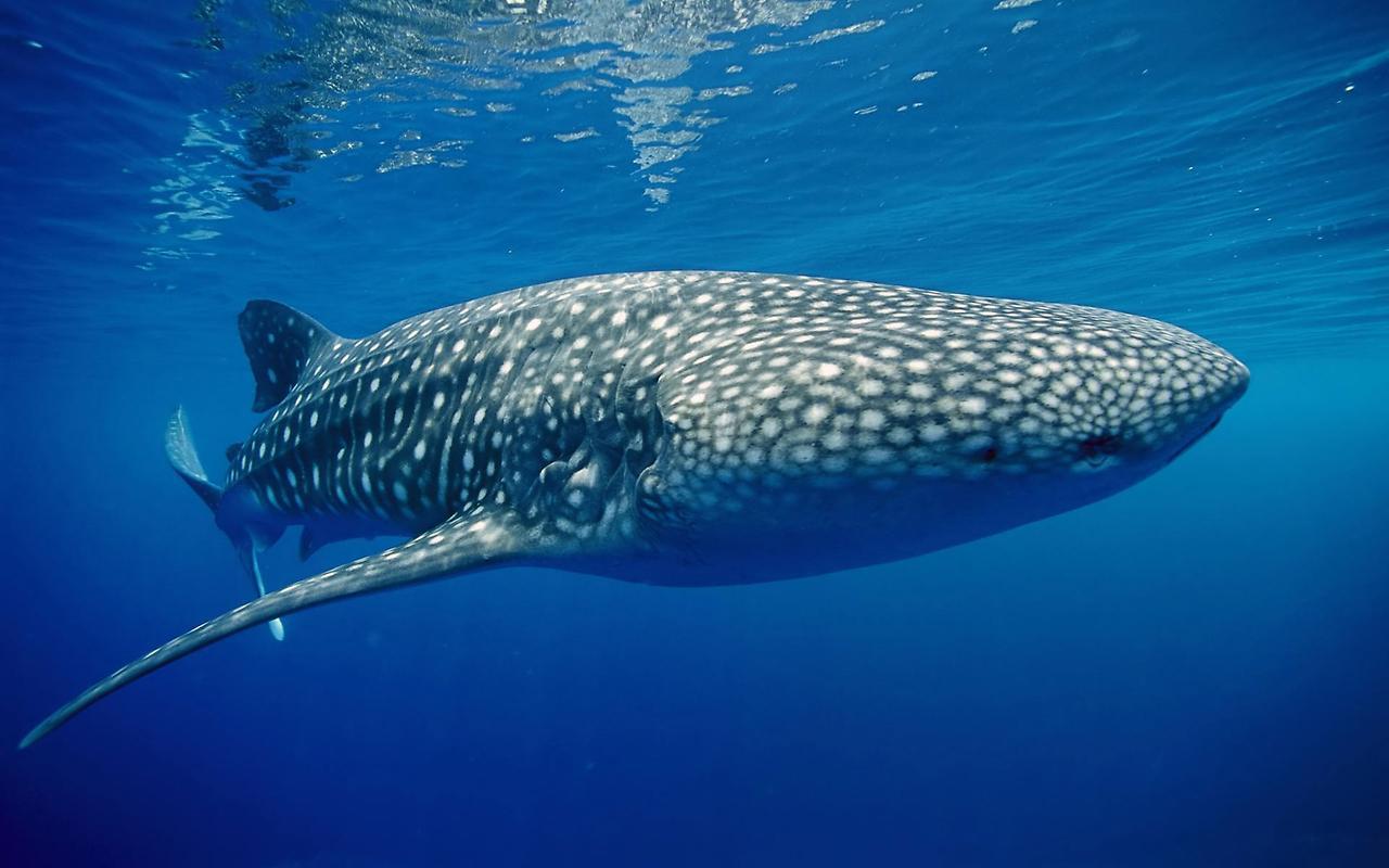 голубой кит что это