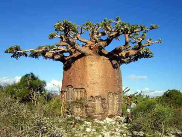 Фантастические деревья мира 10 фото