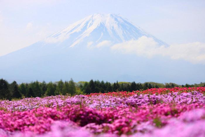 Поля цветочной shibazakura в японии 20 фото