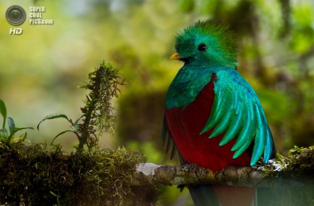 Ацтекская священная птица Квезаль (9 фото)