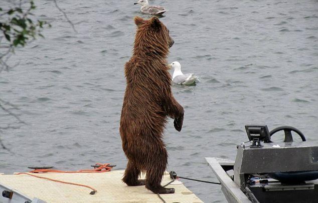 Медведь за рулём водного мотоцикла (5 фото)