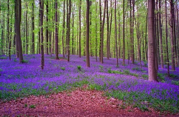 Живописный лес Hallerbos в Бельгии (7 фото)