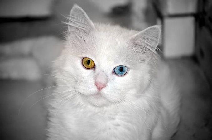 Снимки животных с разноцветными глазами (20 фото)