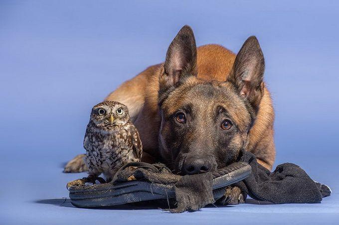 Трогательная дружба собаки и совы (14 фото)