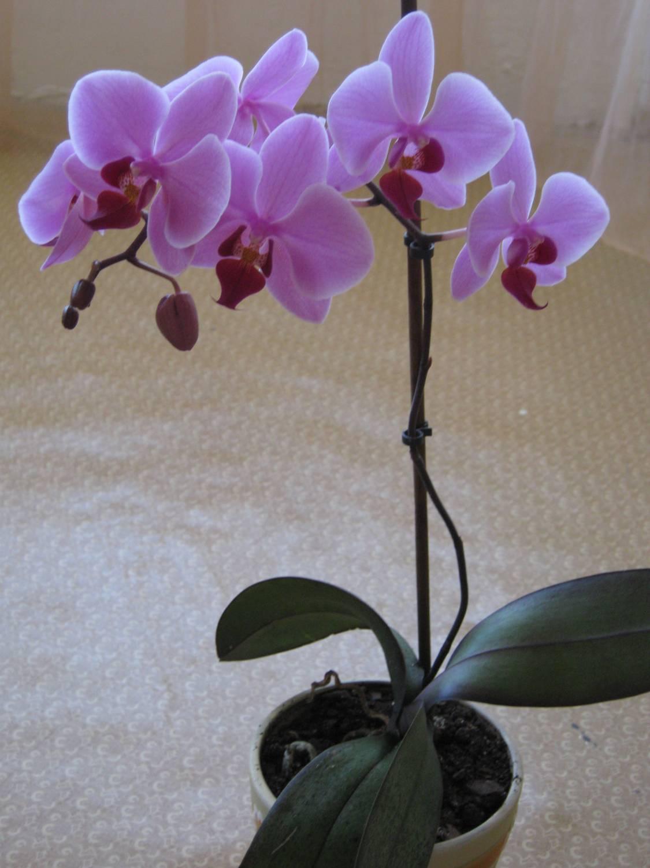 Комнатные цветы орхидея фото